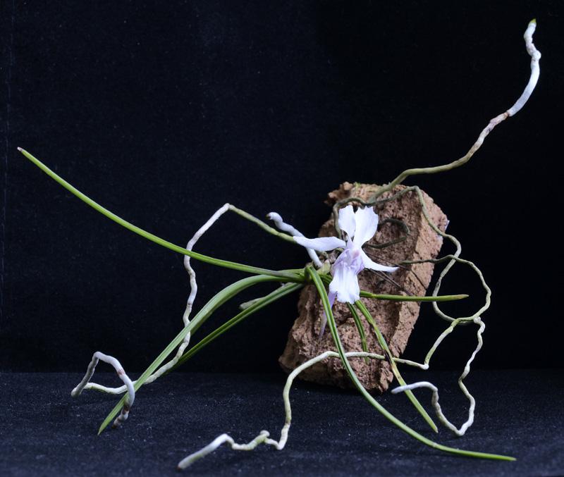 Miniatur-Orchideen Teil 6 - Seite 3 Holcog11