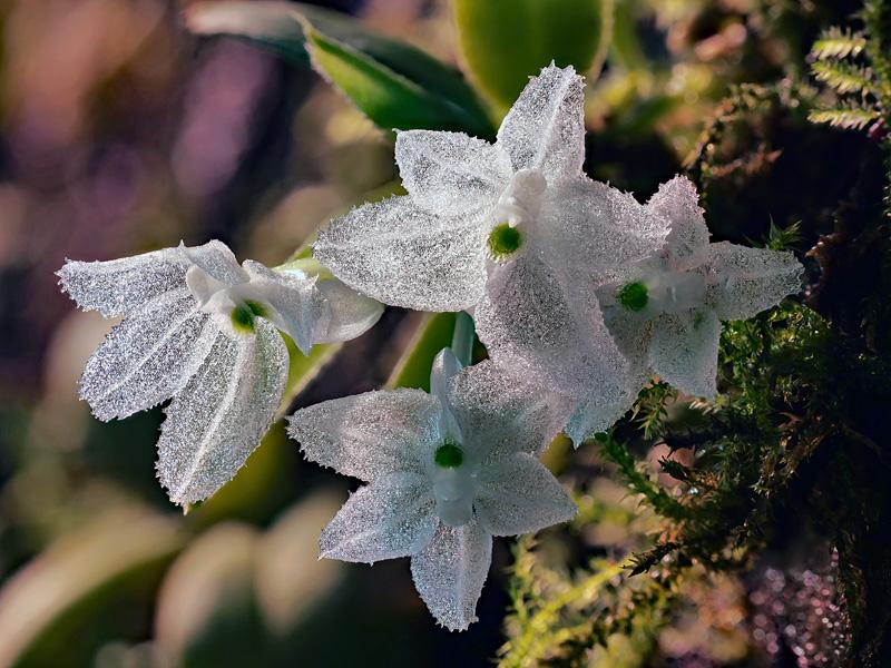 Makroaufnahmen von Miniaturorchideen Hymeno15