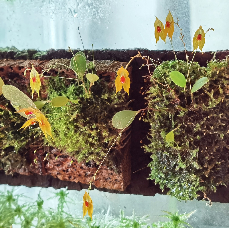 Lepanthes guatemalensis Img_2027