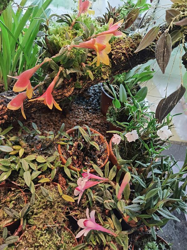 Dendrobium subuliferum Img_2031