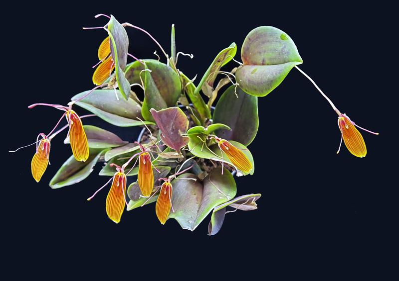 Miniatur-Orchideen Teil 6 - Seite 17 Img_2047