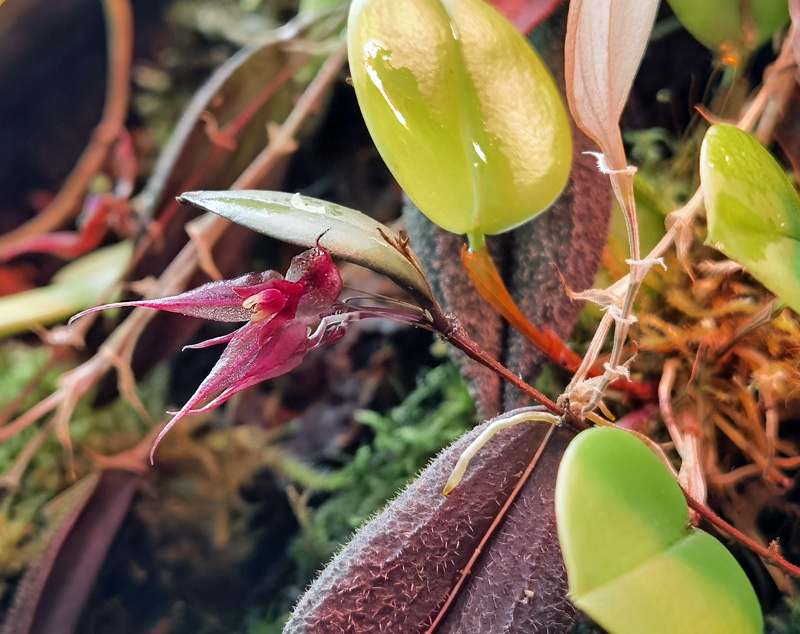 Lepanthes grandiflora Img_2054