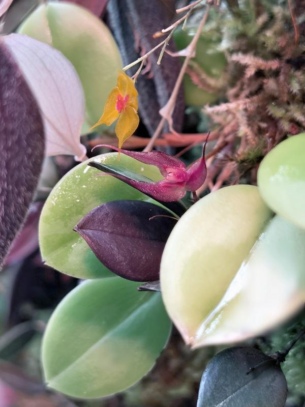 Lepanthes grandiflora Img_2056