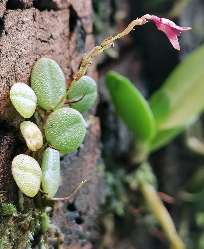 Specklinia lewisiae Img_2089