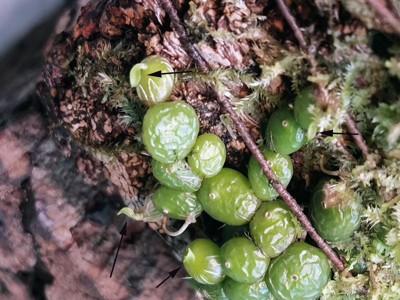 Bulbophyllum moniliforme Img_2091