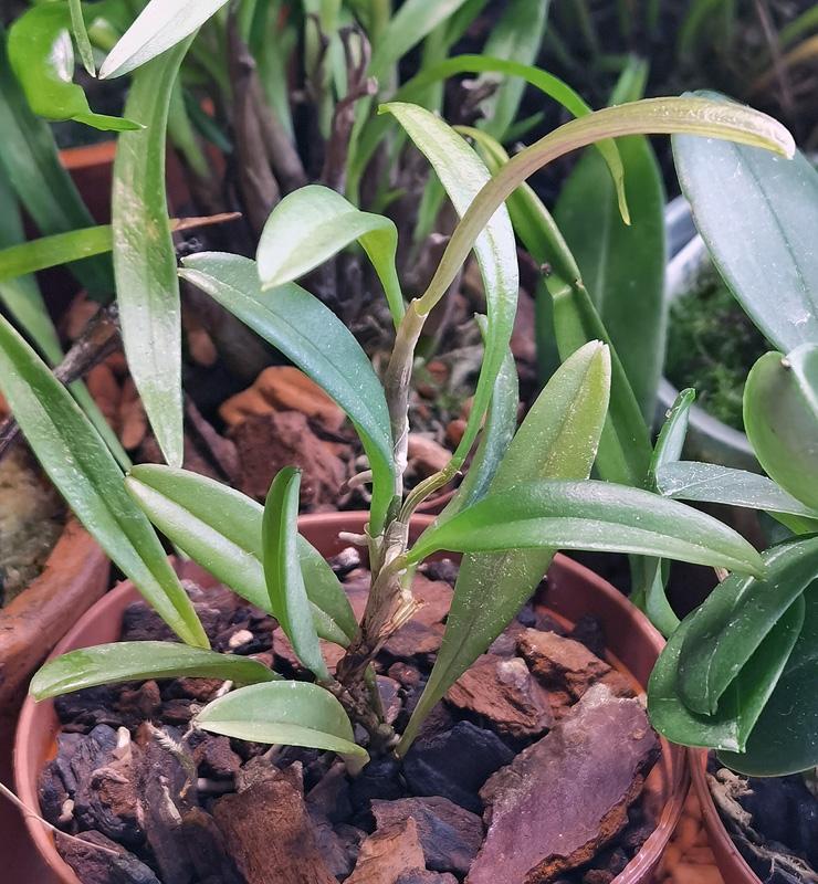 Andinia schizopogon Img_2092