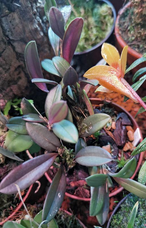 Andinia schizopogon Img_2094