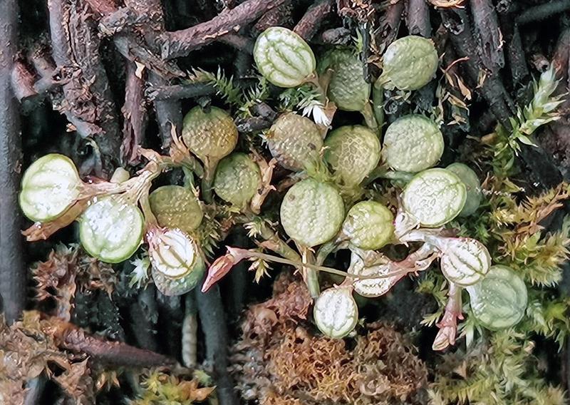 Vitrinen für Miniaturorchideen Img_2095