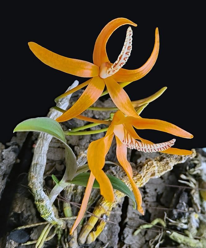 Dendrobium lamyaiae Img_2105