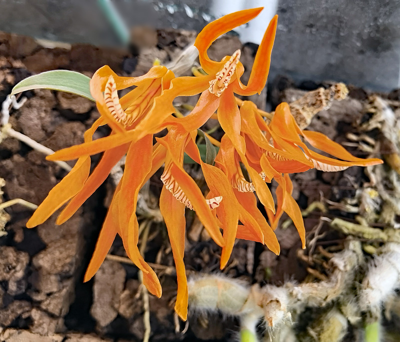 Dendrobium lamyaiae Img_2108