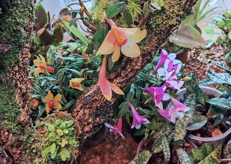Dendrobium  cuthbertsonii - Seite 2 Img_2117