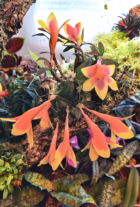 Dendrobium  cuthbertsonii - Seite 2 Img_2118