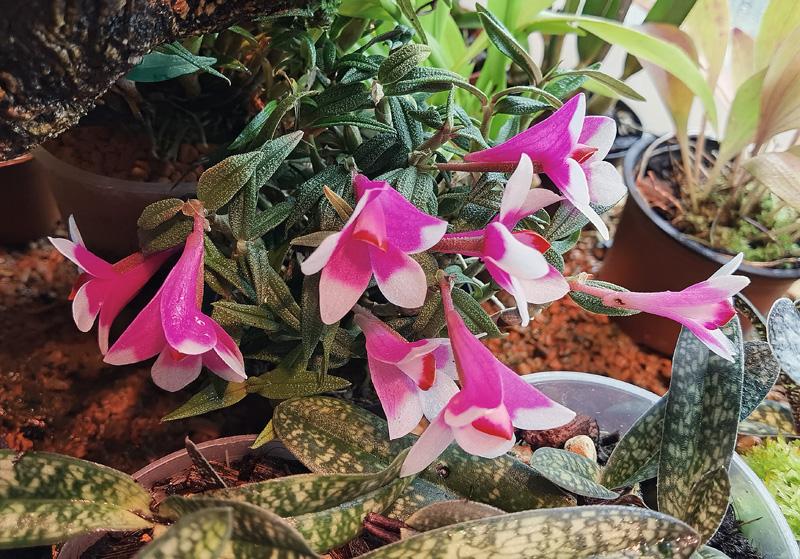 Dendrobium  cuthbertsonii - Seite 2 Img_2119