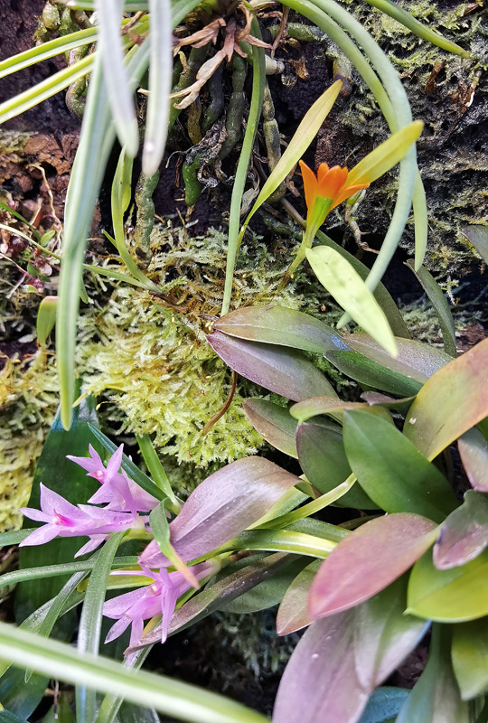 Dendrobium seranicum Img_2120