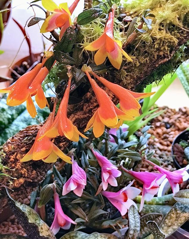 Dendrobium  cuthbertsonii - Seite 3 Img_2132