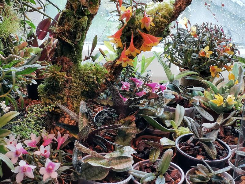 Dendrobium  cuthbertsonii - Seite 3 Img_2133