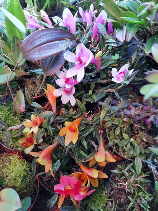 Dendrobium  cuthbertsonii - Seite 3 Img_2134