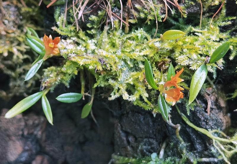 Dendrobium subacaule Img_2137