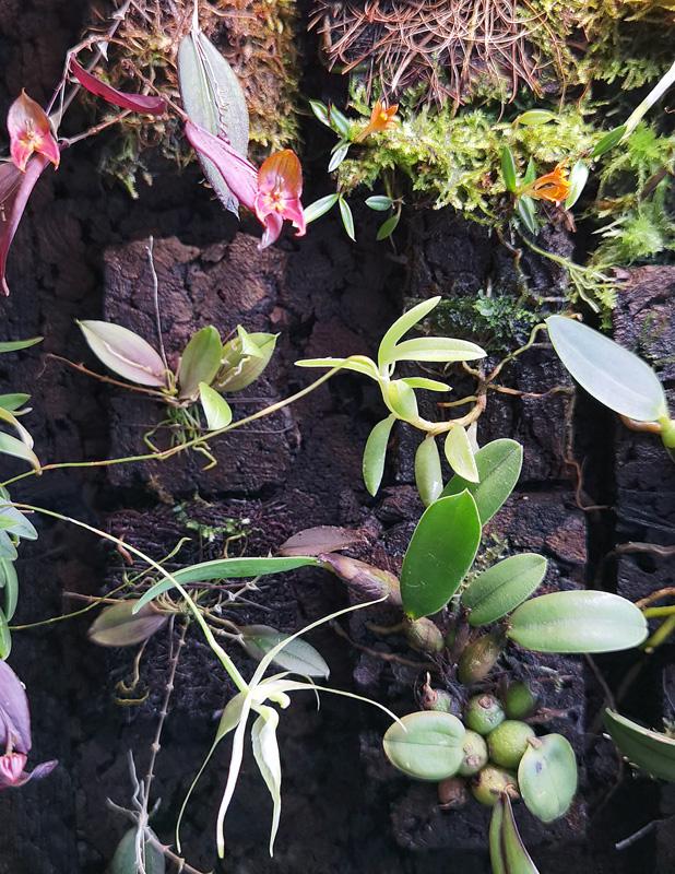 Dendrobium subacaule Img_2138