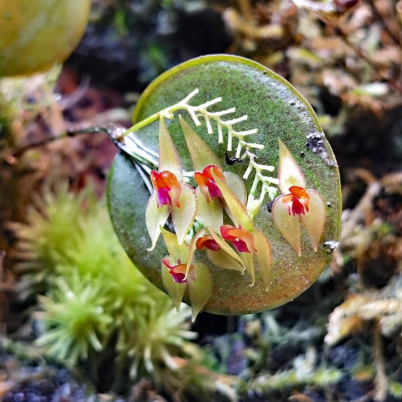Lepanthes helicocephala Img_2139