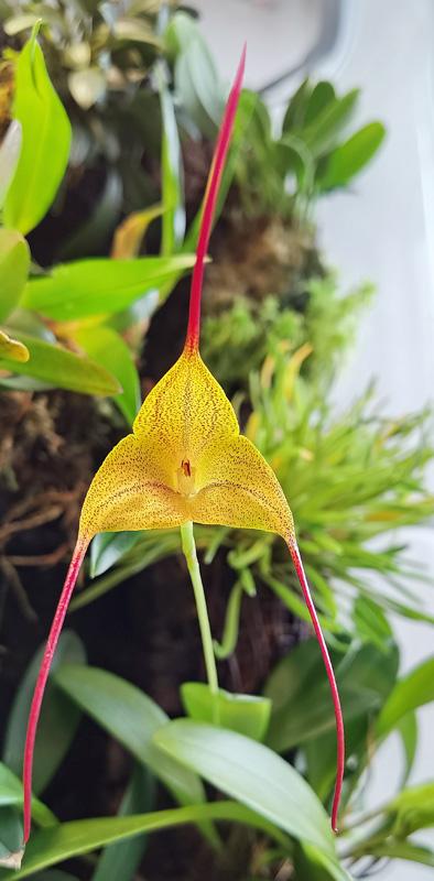 Masdevallia triangularis Img_2149