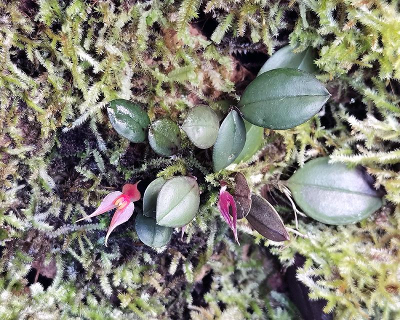 Lepanthes grandiflora Img_2155
