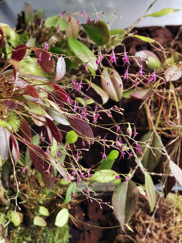 Lepanthopsis astrophora Img_2188