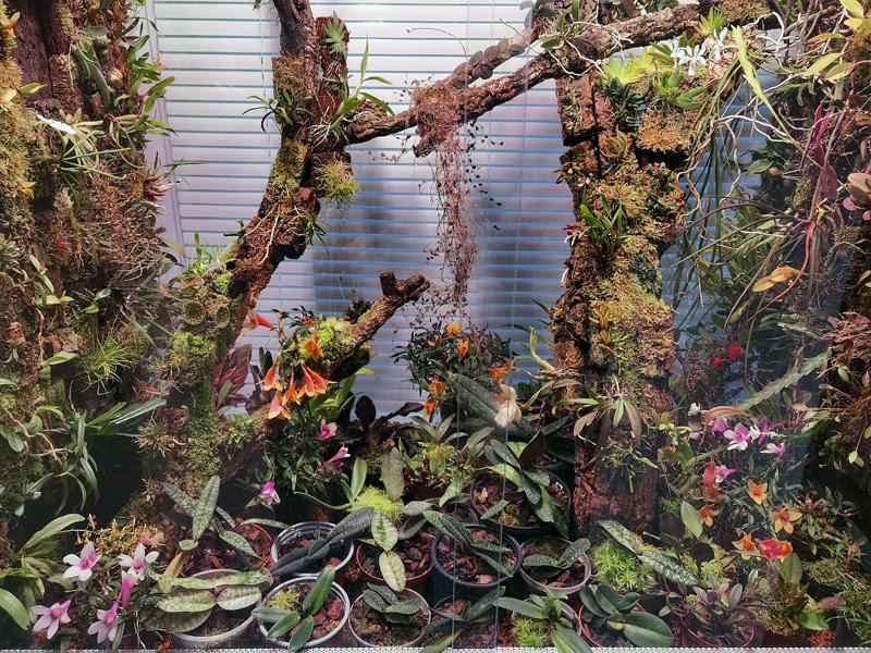 Dendrobium  cuthbertsonii - Seite 3 Img_2203