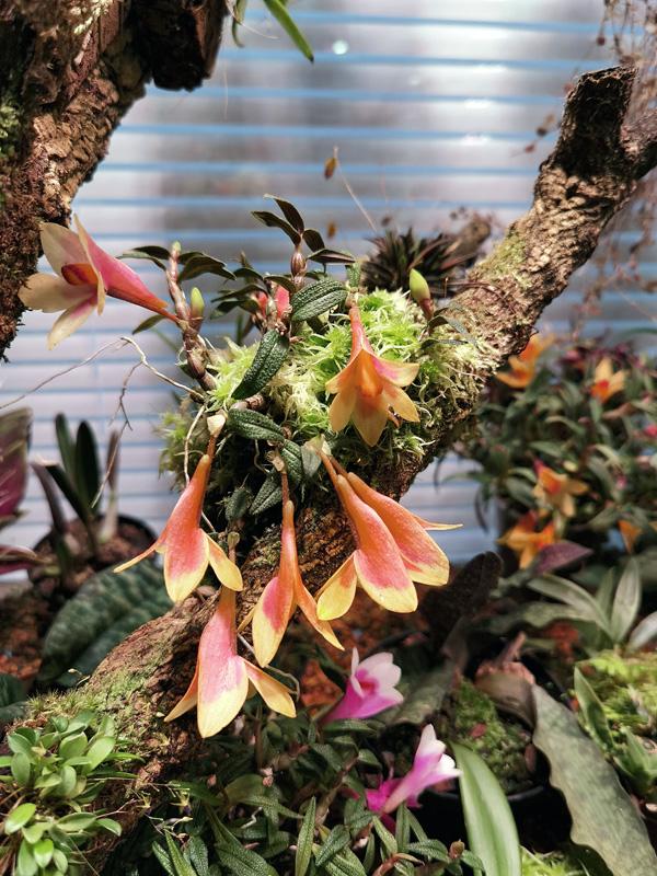 Dendrobium  cuthbertsonii - Seite 3 Img_2205