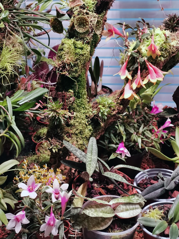 Dendrobium  cuthbertsonii - Seite 3 Img_2206