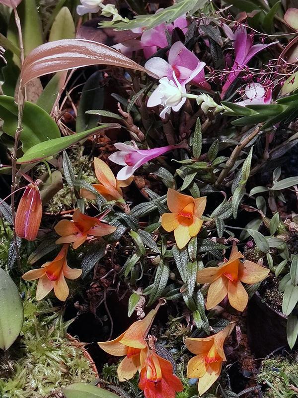 Dendrobium  cuthbertsonii - Seite 3 Img_2207