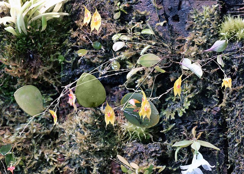 Lepanthes guatemalensis Lepan107