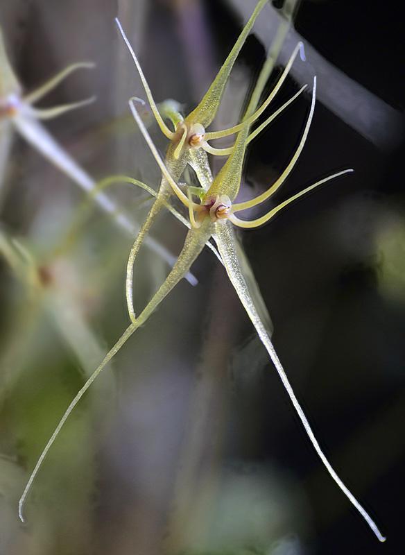 Lepanthes filamentosa Lepan112