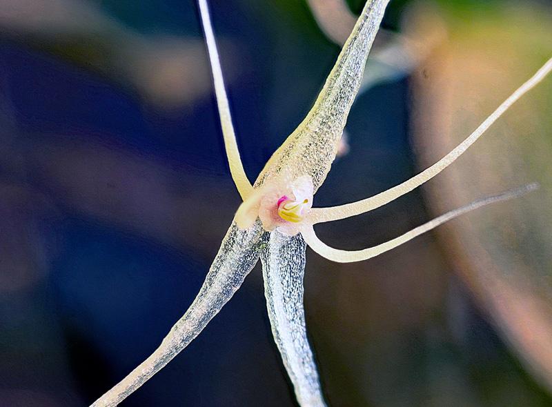 Lepanthes filamentosa Lepan113