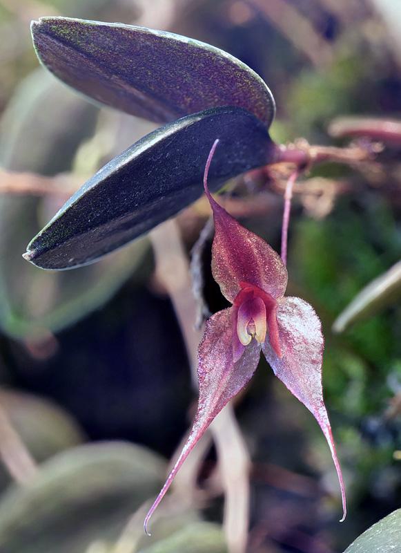 Lepanthes grandiflora Lepan115