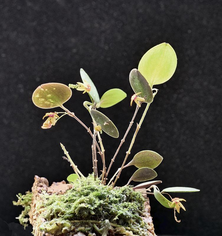 Lepanthes dominguensis Lepan123