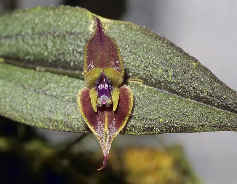 Lepanthes gargoyla Lepan128