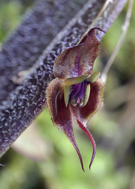 Lepanthes gargoyla Lepan130