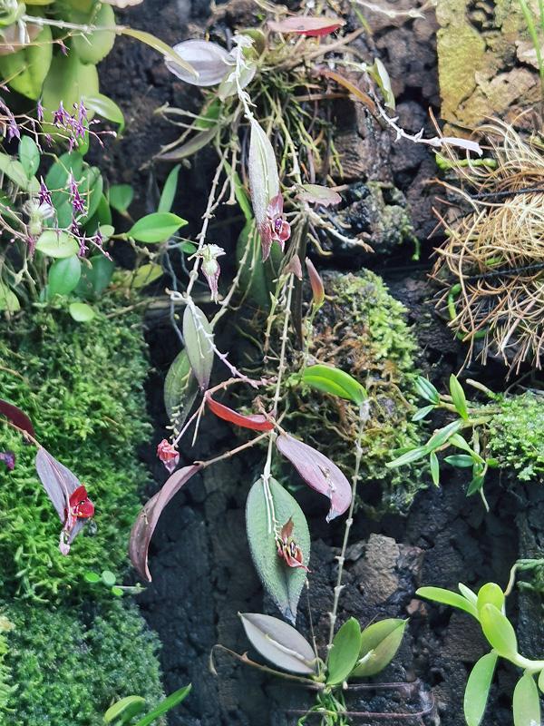 Lepanthes gargoyla Lepan131