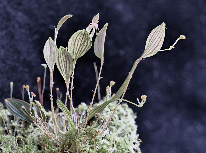 Lepanthes hexapus Lepan132
