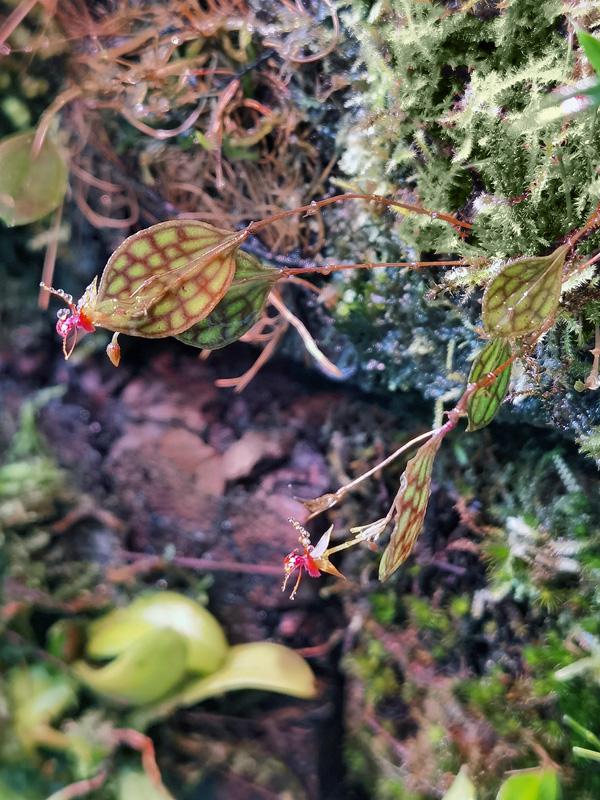 Lepanthes barbelifera Lepan135