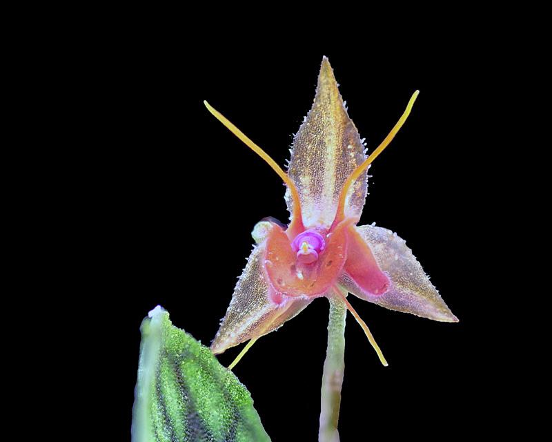 Lepanthes barbelifera Lepan136