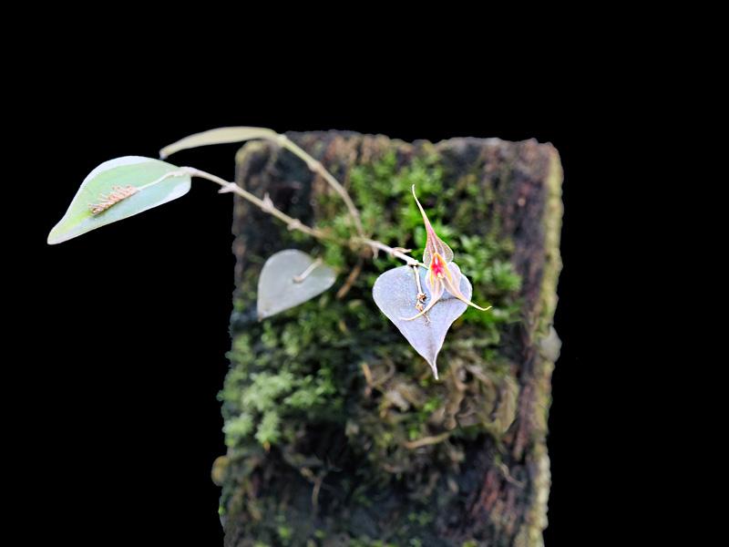 Lepanthes calocerca Lepan137