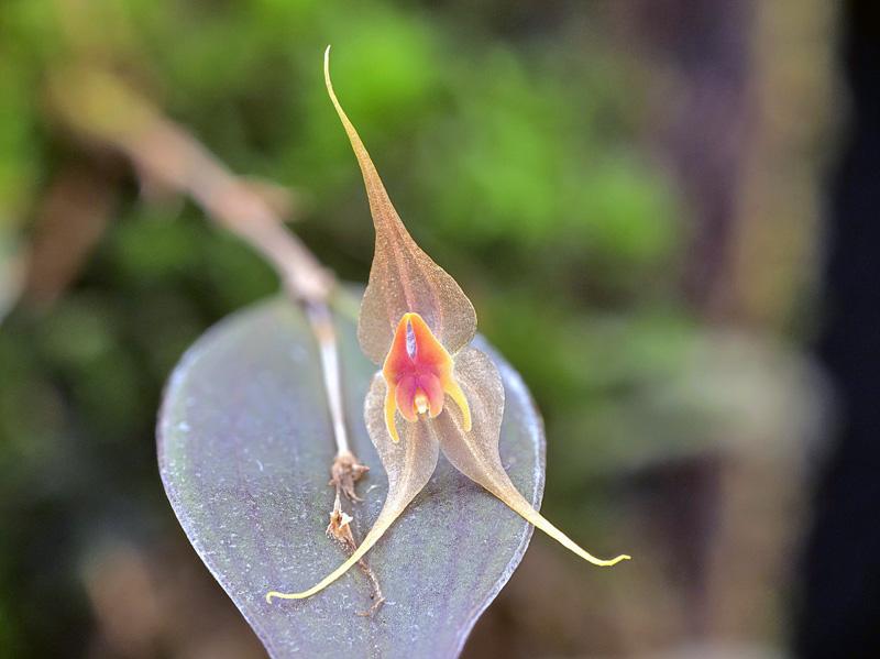 Lepanthes calocerca Lepan138
