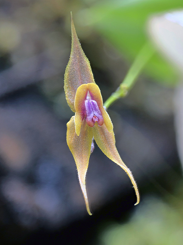 Lepanthes clareae Lepan139
