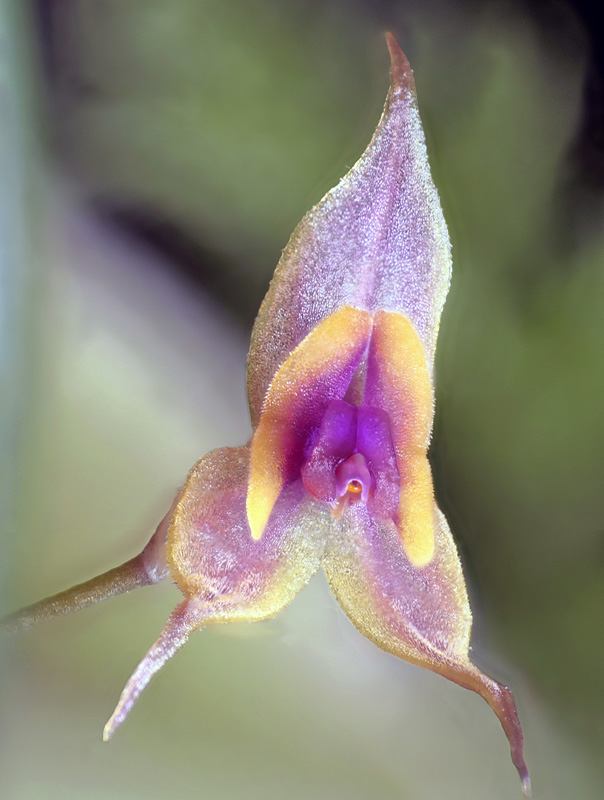 Lepanthes clareae Lepan141