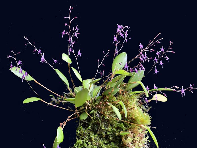 Lepanthopsis astrophora Lepan143