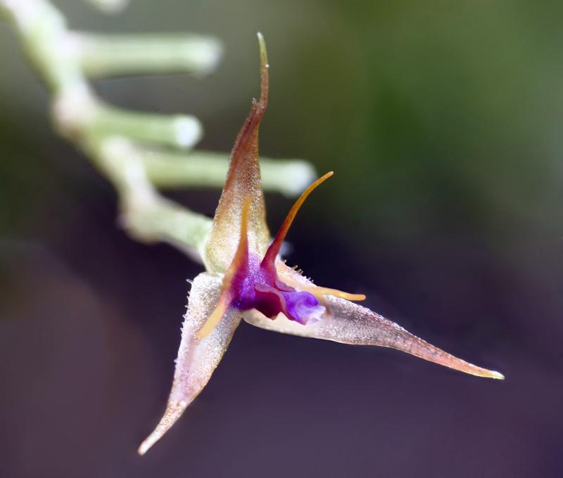 Makroaufnahmen von Miniaturorchideen Lepan148