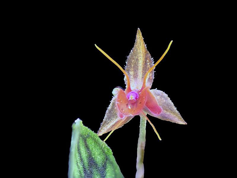 Makroaufnahmen von Miniaturorchideen - Seite 3 Lepan157