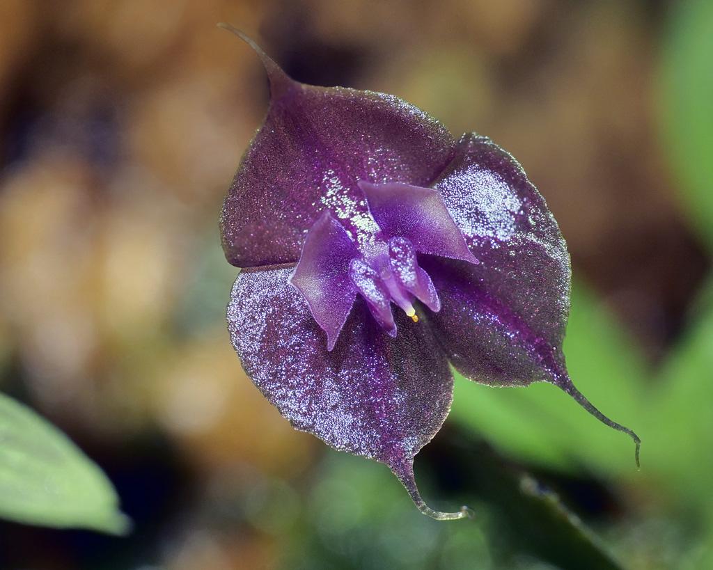 Miniatur-Orchideen Teil 5 - Seite 6 Lepant18